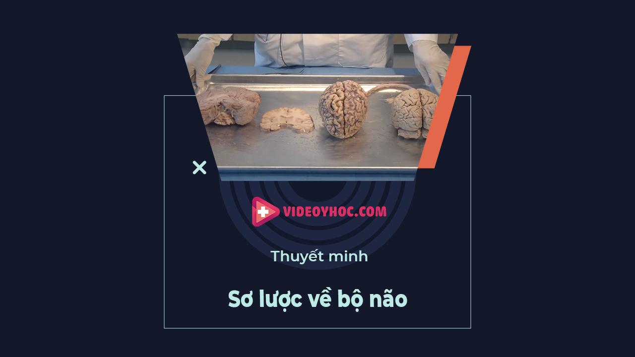 Giải phẫu não: sơ lược về bộ não