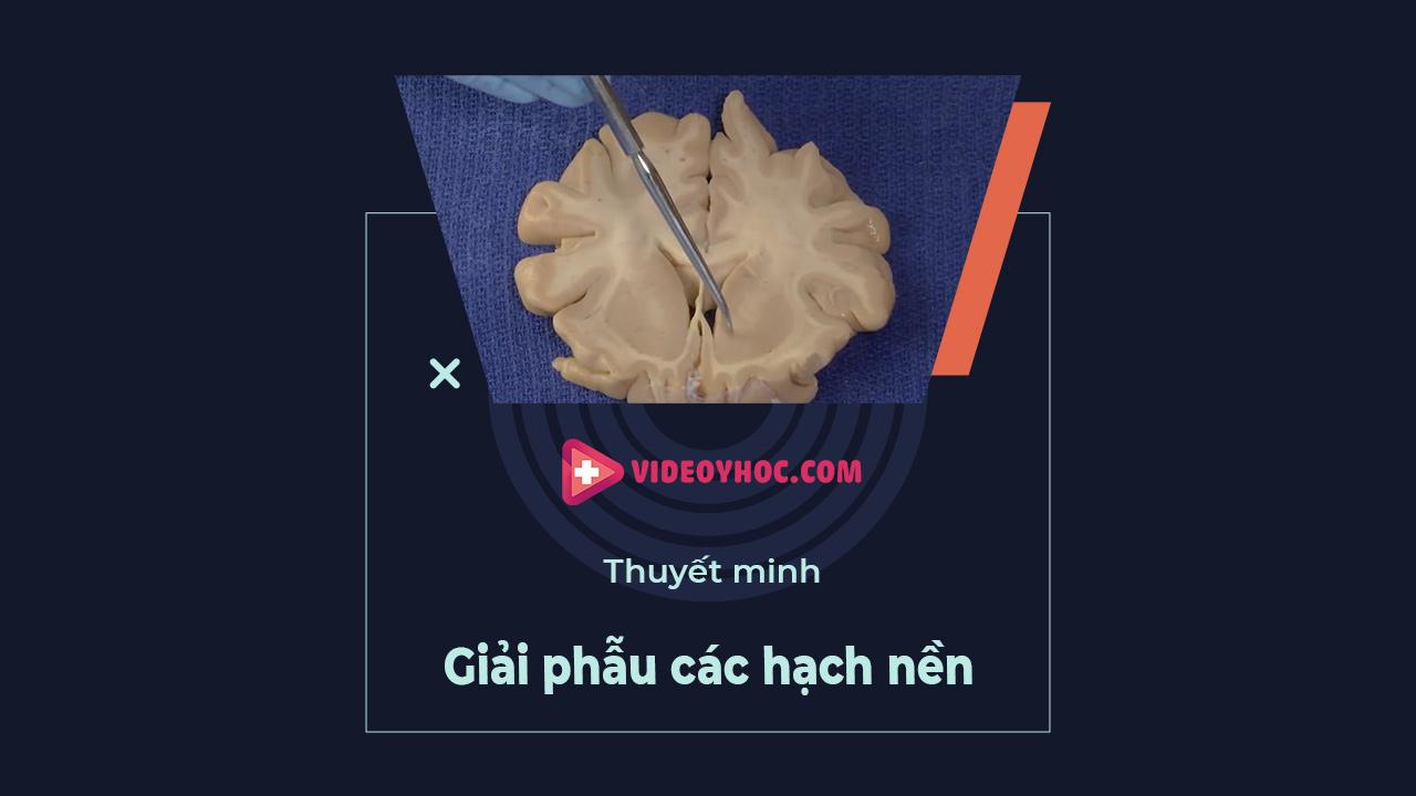 Giải phẫu não: các hạch nền