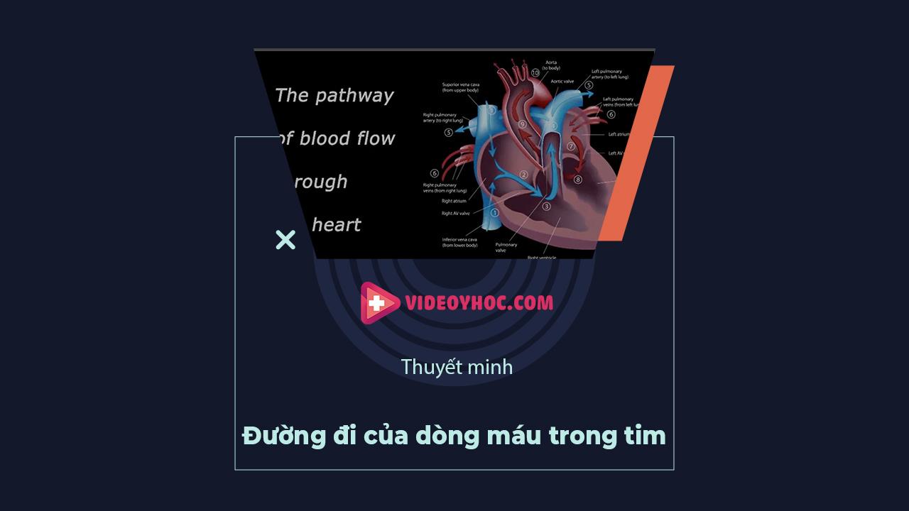 Đường đi của dòng máu trong tim